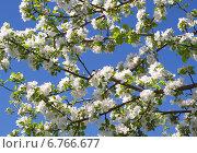Яблоня цветет на фоне голубого неба. Стоковое фото, фотограф Yaln1 / Фотобанк Лори