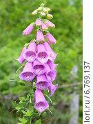 Купить «Розовая наперстянка в саду», фото № 6769137, снято 15 июня 2013 г. (c) Анна Мартынова / Фотобанк Лори