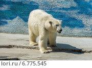 Белый медведь в зоопарке летом. Стоковое фото, фотограф Захар Дудников / Фотобанк Лори