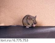 Купить «Обыкновенная серая мышь (Mus musculus)», фото № 6775753, снято 7 декабря 2014 г. (c) Ирина Кожемякина / Фотобанк Лори