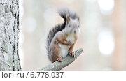 Купить «Любопытная белка на дереве», видеоролик № 6778037, снято 9 декабря 2014 г. (c) Андрей Павлов / Фотобанк Лори