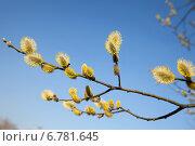 Купить «Ветка цветущей вербы на фоне голубого неба», фото № 6781645, снято 13 апреля 2014 г. (c) Юлия Кузнецова / Фотобанк Лори