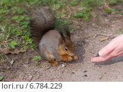 Угощение белки семечками с руки. Стоковое фото, фотограф Argument / Фотобанк Лори