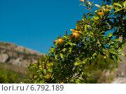 Гранат на ветке. Стоковое фото, фотограф Евгений Макеев / Фотобанк Лори