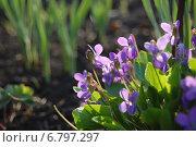 Фиалки в лучах апрельского солнца. Стоковое фото, фотограф Мария Мухина / Фотобанк Лори