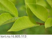 Листья белой акации. Стоковое фото, фотограф Екатерина Бычкова / Фотобанк Лори