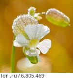 Купить «Белый цветок (смолёвка обыкновенная) покрытый утренней росой», эксклюзивное фото № 6805469, снято 21 июля 2014 г. (c) Игорь Низов / Фотобанк Лори