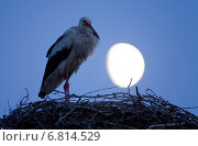 Rühstädt, Germany, Stork during the waxing moon in his eyrie. Стоковое фото, агентство Caro Photoagency / Фотобанк Лори