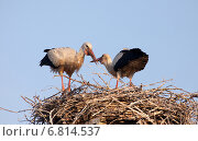 Rühstädt, Germany, storks in the morning light in her eyrie. Стоковое фото, агентство Caro Photoagency / Фотобанк Лори