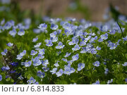 Голубые садовые цветы Вероника. Стоковое фото, фотограф Катя Петросян / Фотобанк Лори