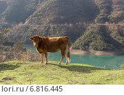 Молодой бык в горах на лугу. Стоковое фото, фотограф Татьяна Ляпи / Фотобанк Лори