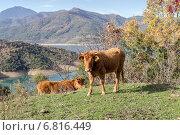 Купить «Молодой бык в горах на лугу», фото № 6816449, снято 14 декабря 2014 г. (c) Татьяна Ляпи / Фотобанк Лори
