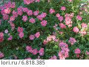 Купить «Розовые цветы шиповника (Rosa)», эксклюзивное фото № 6818385, снято 14 июня 2014 г. (c) Алёшина Оксана / Фотобанк Лори