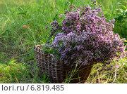 Душица в плетеной корзине. Стоковое фото, фотограф Юлия Лекомцева / Фотобанк Лори