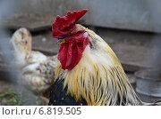 Петух в курятнике. Стоковое фото, фотограф Юлия Лекомцева / Фотобанк Лори