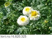 Купить «Хризантема корончатая махровая (лат. Chrysanthemum coronarium)», эксклюзивное фото № 6820325, снято 23 июля 2014 г. (c) Елена Коромыслова / Фотобанк Лори