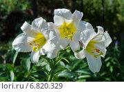 Купить «Сортовая белая лилия (лат. Lilium) в саду», эксклюзивное фото № 6820329, снято 23 июля 2014 г. (c) Елена Коромыслова / Фотобанк Лори
