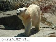 Купить «Белая медведица в зоопарке», эксклюзивное фото № 6821713, снято 29 мая 2008 г. (c) Елена Коромыслова / Фотобанк Лори