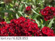 Купить «Шмель (Bombus) на цветке турецкой гвоздики ( Dianthus barbatus)», эксклюзивное фото № 6828853, снято 14 июня 2014 г. (c) Алёшина Оксана / Фотобанк Лори