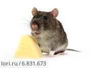 Купить «Большая серая крыса  с кусочком сыра на белом фоне», фото № 6831673, снято 9 декабря 2009 г. (c) Чирков Сергей Викторович / Фотобанк Лори