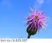 Купить «Бодяк розовый, или осот полевой (лат. Cirsium arvense)», эксклюзивное фото № 6835097, снято 12 июля 2012 г. (c) lana1501 / Фотобанк Лори