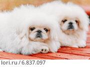 Купить «Белые щенки породы пекинес», фото № 6837097, снято 9 ноября 2014 г. (c) g.bruev / Фотобанк Лори