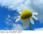 Купить «Нивяник обыкновенный, или Ромашка луговая (L. vulgare Lam) на фоне голубого неба с облаками», эксклюзивное фото № 6837257, снято 18 июля 2012 г. (c) lana1501 / Фотобанк Лори