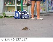 Купить «Крыса гуляет по тротуару не обращая внимания на людей, Щелковское шоссе, Москва», эксклюзивное фото № 6837357, снято 11 июля 2012 г. (c) lana1501 / Фотобанк Лори