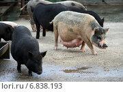 Купить «Декоративные свинки гуляют во дворе (мини-пиги)», эксклюзивное фото № 6838193, снято 12 августа 2012 г. (c) Щеголева Ольга / Фотобанк Лори