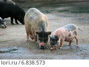 Купить «Декоративные свинки, свиноматка и поросенок (мини-пиги) гуляют во дворе», эксклюзивное фото № 6838573, снято 12 августа 2012 г. (c) Щеголева Ольга / Фотобанк Лори