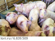 Neuruppin, Germany, pigs in the pig gate. Стоковое фото, агентство Caro Photoagency / Фотобанк Лори