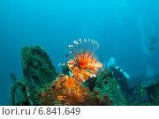 Купить «Опасная ядовитая рыба индийская крылатка (common lionfish, devil firefish, pterois miles) охраняет затонувший корабль», фото № 6841649, снято 11 февраля 2013 г. (c) Сергей Дубров / Фотобанк Лори