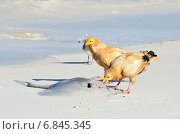 Купить «Стервятники (Neophron Percnopterus) клюют ската на берегу Аравийского моря», фото № 6845345, снято 23 марта 2014 г. (c) Овчинникова Ирина / Фотобанк Лори
