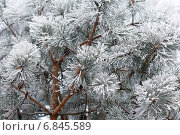 Сосна. Стоковое фото, фотограф Екатерина Рыжова / Фотобанк Лори