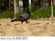 Голубь шагает по песку. Стоковое фото, фотограф Александр Первунин / Фотобанк Лори