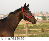 Голова вороной лошади в красном недоуздке в базу на фоне поселка (2014 год). Редакционное фото, фотограф Елена Зенкович / Фотобанк Лори