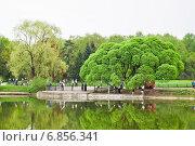 Купить «Ива ломкая Буллата (Salix fragilis Bullata) в Главном Ботаническом саду РАН», эксклюзивное фото № 6856341, снято 8 мая 2010 г. (c) Алёшина Оксана / Фотобанк Лори