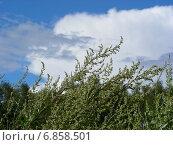 Заросли полыни горькой (лат. Artemísia absínthium) на фоне голубого неба с облаком красивой формы. Стоковое фото, фотограф lana1501 / Фотобанк Лори
