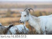 Купить «Козы на Оке», эксклюзивное фото № 6859513, снято 21 сентября 2014 г. (c) Дмитрий Неумоин / Фотобанк Лори