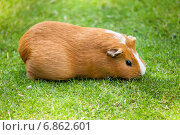 Купить «Рыжая морская свинка на зеленой траве», фото № 6862601, снято 25 июля 2012 г. (c) Маргарита Бородина / Фотобанк Лори
