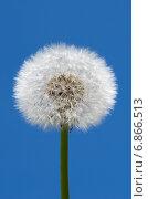 Пушистый белый одуванчик (лат. Taraxacum officinale) на фоне голубого неба. Стоковое фото, фотограф Елена Коромыслова / Фотобанк Лори