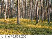 Купить «В чистом сосновом лесу», фото № 6869205, снято 5 июля 2014 г. (c) Икан Леонид / Фотобанк Лори