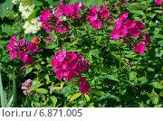 Купить «Розовые флоксы (лат. Phlox) в саду», эксклюзивное фото № 6871005, снято 15 июля 2014 г. (c) Елена Коромыслова / Фотобанк Лори