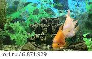 Купить «Рыбы-попугаи и парчовые сомы птеригоплихты крупным планом», видеоролик № 6871929, снято 24 января 2019 г. (c) Евгений Ткачёв / Фотобанк Лори