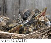Птенцы дрозда в гнезде. Стоковое фото, фотограф Савко Вадим Геннадиевич / Фотобанк Лори