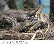 Купить «Птенцы дрозда в гнезде», фото № 6872185, снято 20 мая 2013 г. (c) Савко Вадим Геннадиевич / Фотобанк Лори