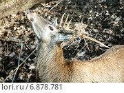 Красивый олень. Стоковое фото, фотограф Кононенко Александр / Фотобанк Лори