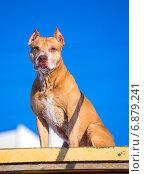 Собака породы американский питбультерьер сидит на возвышении на полигоне для собак на фоне неба. Стоковое фото, фотограф Сергей Лаврентьев / Фотобанк Лори