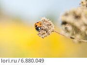 Купить «Семиточечная коровка (Coccinella septempunctata) на сухом цветке», эксклюзивное фото № 6880049, снято 28 июля 2012 г. (c) Алёшина Оксана / Фотобанк Лори