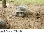 Сейшельская гигантская черепаха отдыхает. Стоковое фото, фотограф Алексей Мальцев / Фотобанк Лори